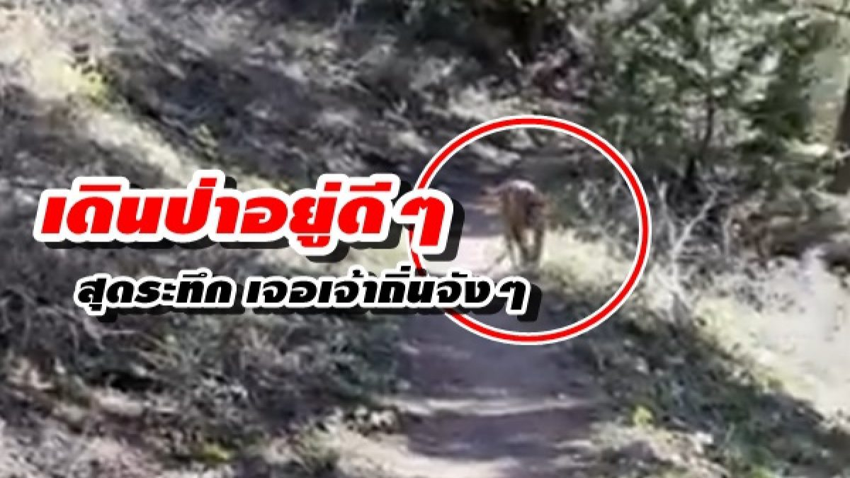 ใจเต้นรัว! เมื่อ นักเดินป่า บังเอิญเจอ สิงโตภูเขาจังๆ ใครไม่เจอไม่รู้