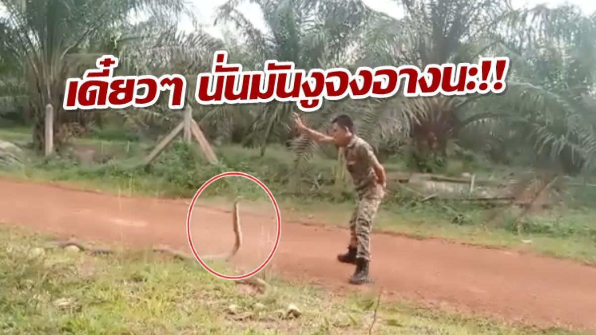 ลุ้นตัวเกร็ง! นาทีทหาร VS งูจงอาง โชว์สยบด้วยมือเปล่า สวยหรือไม่สวยเดี๋ยวรู้...