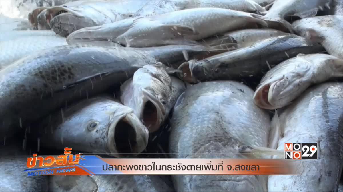 ปลากะพงขาวในกระชังตายเพิ่มที่ จ.สงขลา