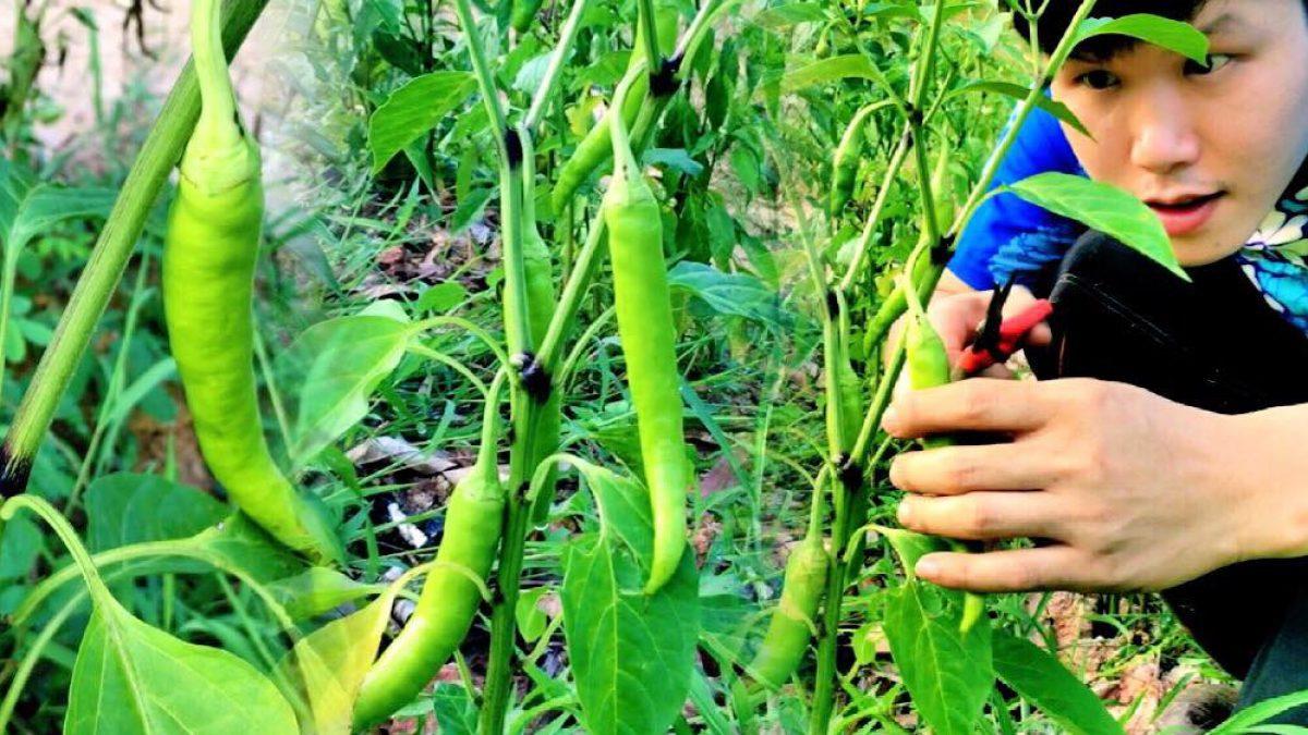 บ้านไร่สายทอง ตอน วิธีปลูกพริก / How to grow chilies / 如何种辣椒。