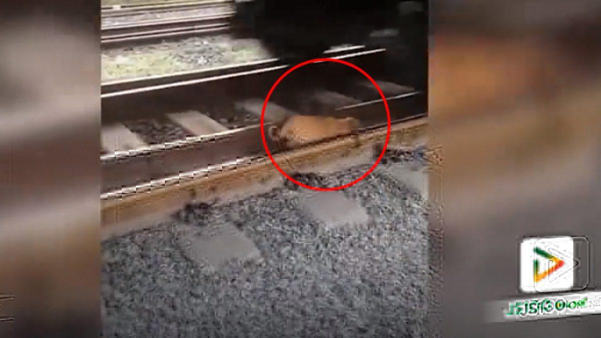 คลิปน้องหมาเผลอหลับบน รางรถไฟ เหตุเกิดที่ต่างประเทศ (29-01-61)