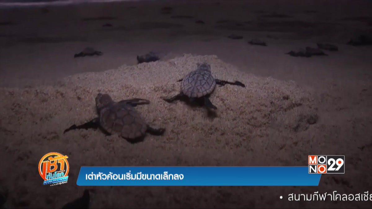 เต่าหัวค้อนเริ่มมีขนาดเล็กลง
