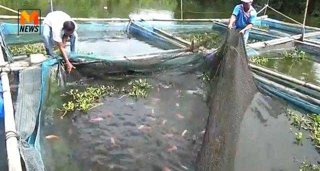 เลี้ยงปลา, ปลาในกระชัง