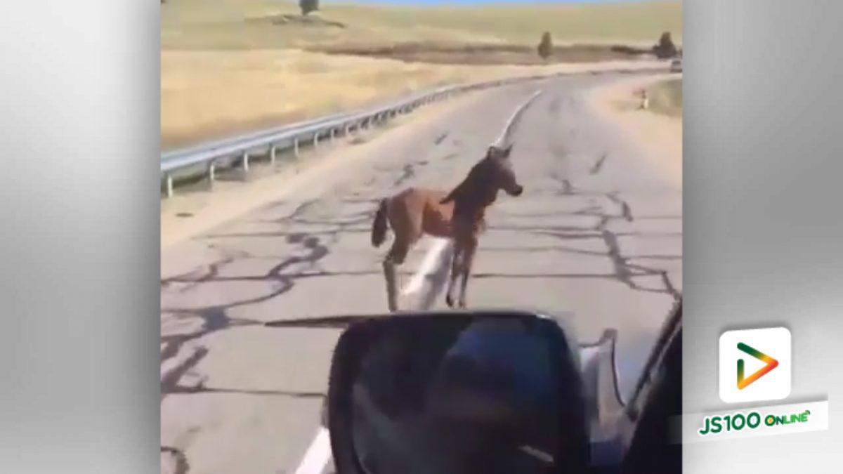 ลูกม้าหลงเข้ามากลางถนน โชคดีเจอคนดีช่วย (12-5-61)