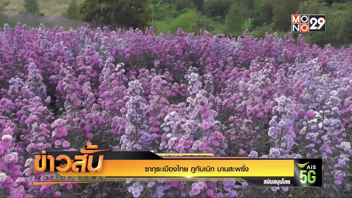 ซากุระเมืองไทย ภูทับเบิก บานสะพรั่ง