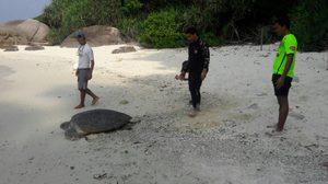ปลื้ม! เจ้าหน้าที่ช่วยเหลือ 'แม่เต่าตะนุ' กลับทะเล หลังขึ้นมาวางไข่บนเกาะเมียง