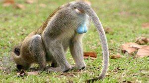 ลิงกำมะหยี่ สัตว์ไข่สวยที่สุดในโลก หลังมีสีฟ้าสด คล้ายถูกย้อมสี