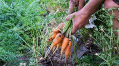 5 ขั้นตอน ปลูกแครอท ง่ายๆ กินเองในครัวเรือน
