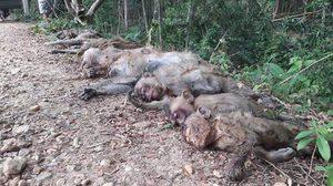 สะเทือนใจ! ลิงแสมนอนตายยกฝูงกว่า 20 ตัว คาดถูกชาวบ้านวางยาเบื่อ