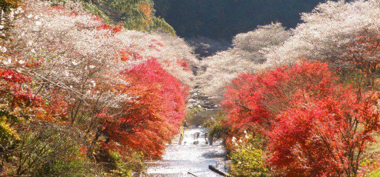 เมืองโอบาระ (Obara) สถานที่ ชมใบไม้เปลี่ยนสีที่ญี่ปุ่น