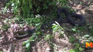 ปะทะเดือด! งูเหลือม ฟัดกับ งูจงอางยักษ์ นานกว่าครึ่งวัน