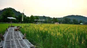 สะพานทุ่งนาน้อย ทอดยาวในทุ่งข้าว และปอเทืองเหลืองอร่าม ที่นครนายก