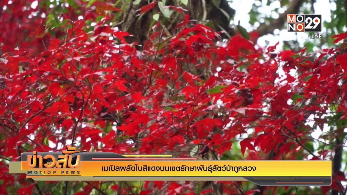 เมเปิลผลัดใบสีแดงบนเขตรักษาพันธุ์สัตว์ป่าภูหลวง