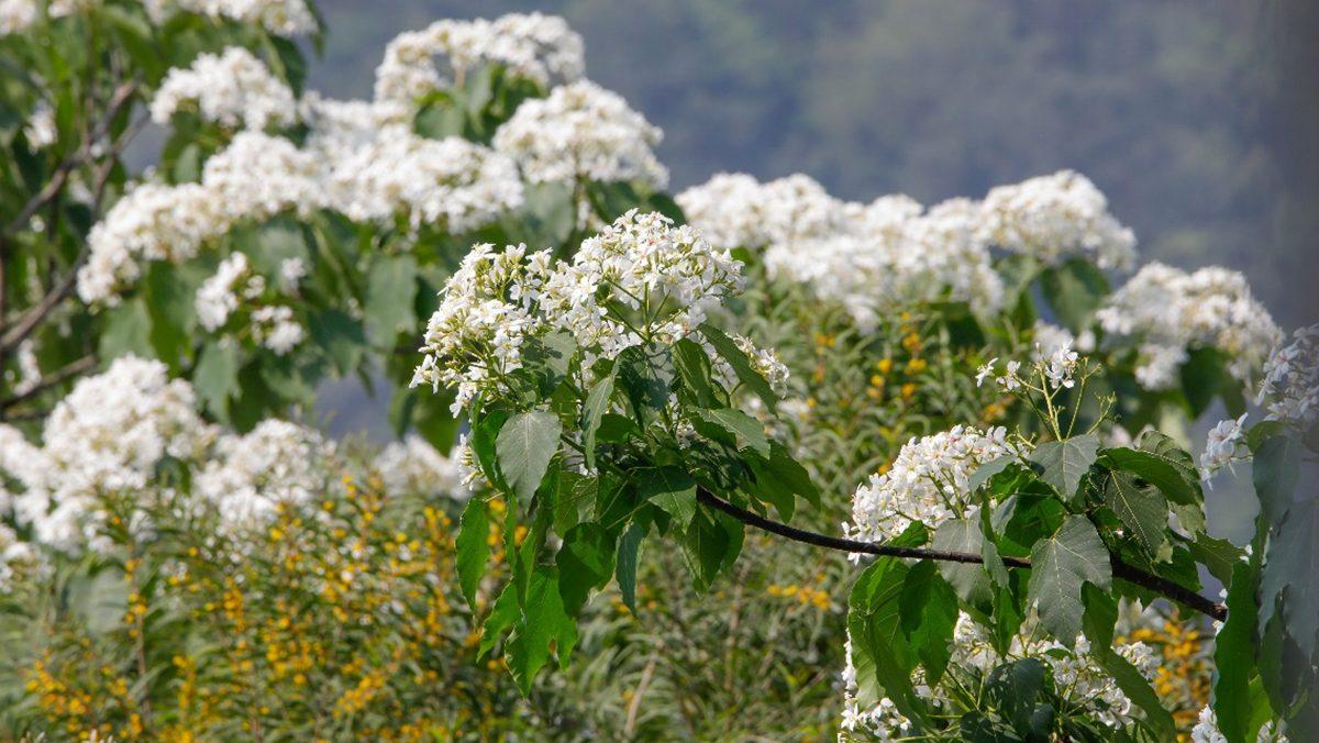 เทศกาล ดอกมะเยาหินภูเขาเทียนจู ที่จีน สวยงามบานสะพรั่ง ดูคล้ายหิมะเมื่อร่วงหล่น