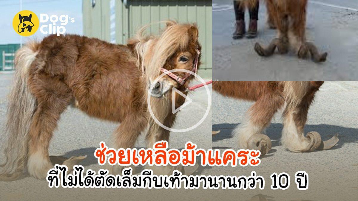 ช่วยเหลือม้าแคระที่ไม่ได้ตัดเล็มกีบเท้ามานานกว่า 10 ปี | Dog's Clip