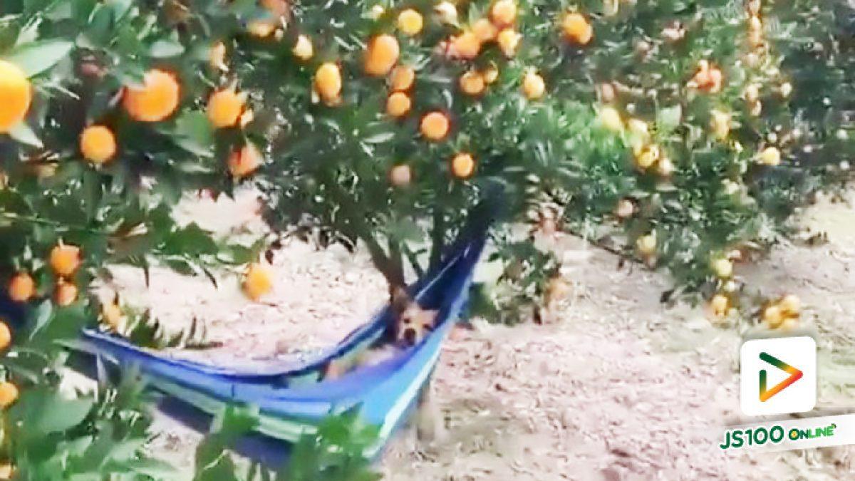 นี่สิ..! เจ้าของไร่ส้มตัวจริง นอนชิลรับลมแบบฟินๆ