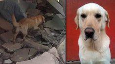 เศร้า สุนัขแสนรู้ ช่วยเหยื่อแผ่นดินไหวเอกวาดอร์ จนเหนื่อยตาย