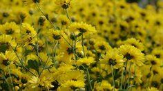ทุ่งดอกเก๊กฮวย แห่งแรกในสระบุรี ณ บิ๊กโจ๊ยคันทรี รีสอร์ท