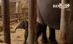สวนสัตว์ในเบอร์ลินต้อนรับลูกช้างเกิดใหม่