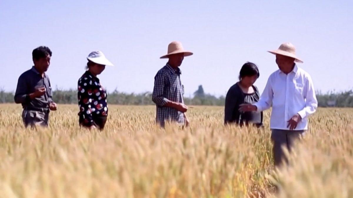 จีนอยู่ระหว่างพัฒนาสายพันธุ์ข้าวสาลี