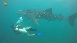 ตื่นตา! พบฉลามวาฬ โผล่อวดโฉม ที่เกาะพีพี