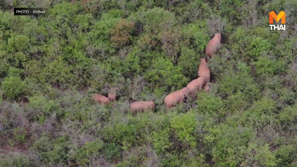 'โขลงช้างป่า' ยูนนาน อพยพลงใต้ต่อเนื่อง