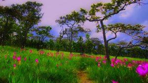 ทุ่งดอกกระเจียว ณ อุทยานแห่งชาติไทรทอง