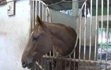 ม้าแข่งทยอยตายเพิ่มยอดสะสมตาย59ตัว