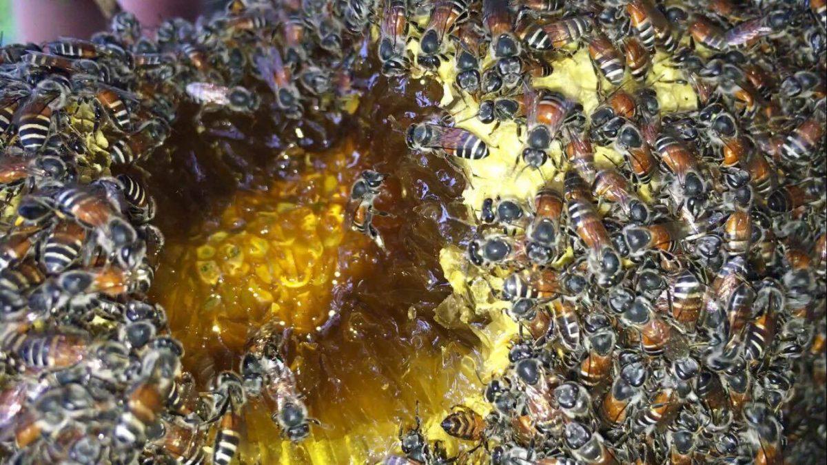 ใช้ชีวิตในป่ากับสราวุฒิ : รังผึ้ง สาหร่ายเทา / Wild Honey Dwarf Bee / 找到野蜂窝