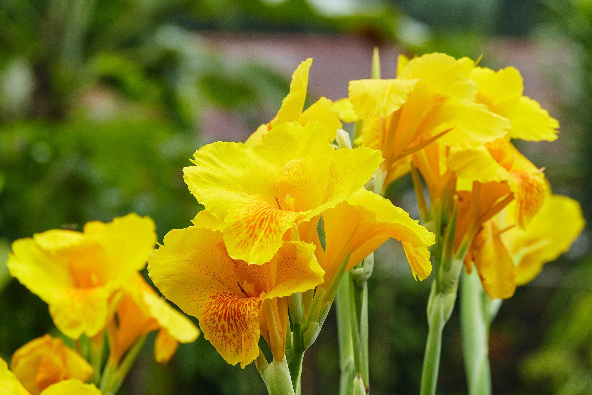 ดอกพุทธรักษา ภาษาอังกฤษ Canna lilly