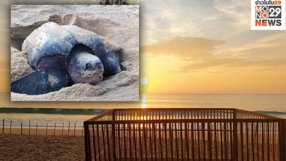 กรมทรัพยากรทางทะเลฯ ชวนชมฟักไข้เต่ามะเฟือง ผ่าน LIVE ทางเว็บไซต์