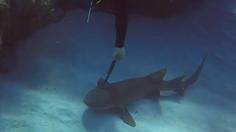 สุดเศร้า! ฉลามถูกมีดปักกลางหัว ว่ายน้ำมาใกล้คนเพื่อขอความช่วยเหลือ