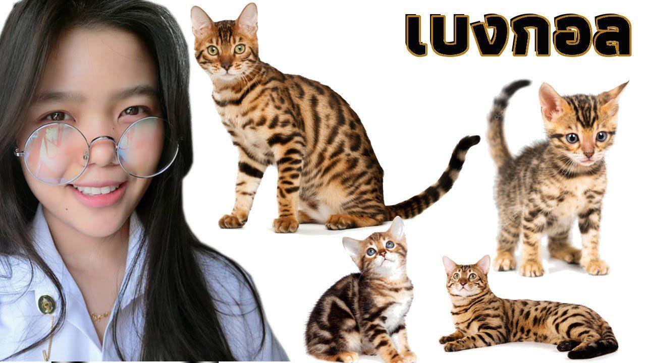 ประกวดสุดยอดแมวเบงกอล ครั้งแรกในประเทศไทย 1st Thailand Bengal Cat Show 2018 | น้ำส้ม Vlog 4K