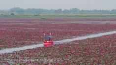 ตะลึง! ทะเลบัวแดง ที่ กุมภวาปี จ.อุดรธานี บานหลงฤดูแบบไม่เคยเกิดขึ้นมาก่อน