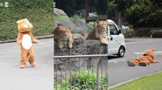 สิงโตถึงกับสงสัยในสิ่งนี้ สาธิตการจับสิงโตหลุด ของสวนสัตว์ญี่ปุ่น มันดูมุ้งมิ้งมากๆ