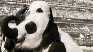 ดราม่าบังเกิด! วังช้างฯ จับช้างไทยทาสีเป็นหมีแพนด้า
