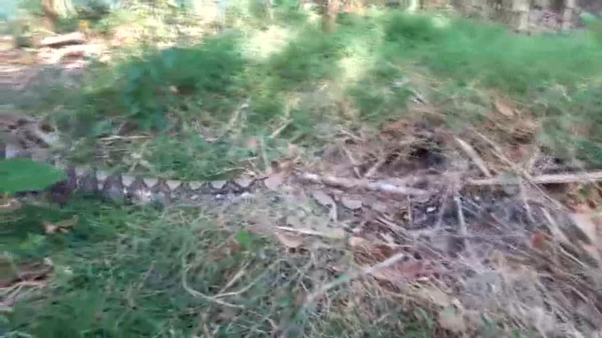 เจ้าของบ้านผวา! งูเหลือมยักษ์ หนัก 100 กก. เลื้อยป้วนเปี้ยนหน้าบ้าน
