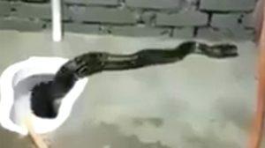 เสียวตูด!!  คลิปสยองงูตัวโต โผล่เลื้อยจากโถส้วม