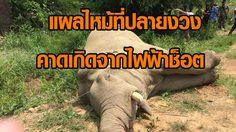 พบช้างป่าตายในเขตไร่สับปะรด จ.ชลบุรี คาดเกิดจากไฟฟ้าช็อต