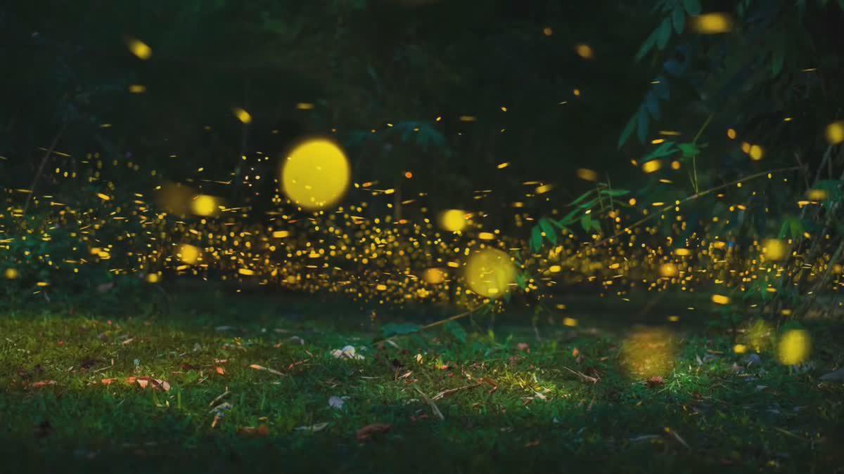 'หิ่งห้อย' เปล่งแสงระยิบระยับ งดงามยามราตรีในยูนนาน