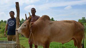 ฮือฮาเปิดตัววัวชนคู่ประวัติศาสตร์ ระหว่างไทย – จีน วงเงินเดิมพัน 4 ล้านบาท
