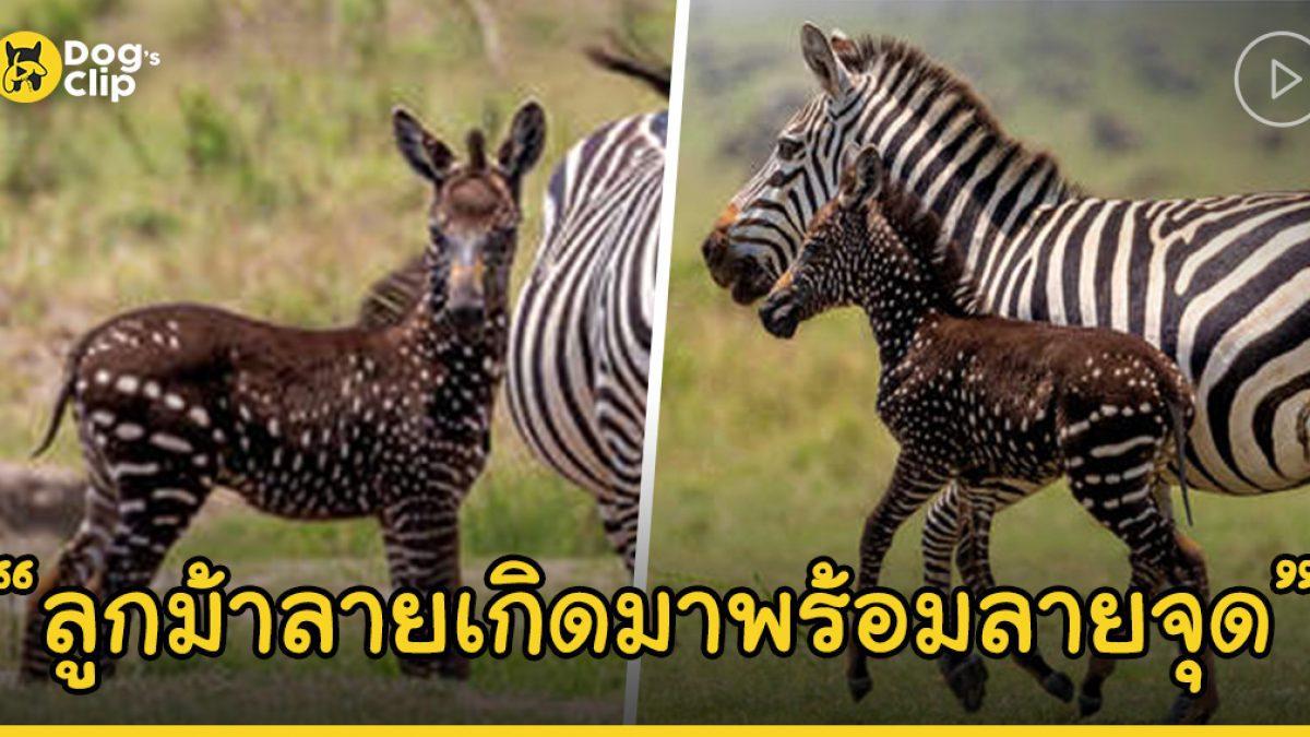 """เคนยาพบลูกม้าลายเกิดใหม่ที่มาพร้อมกับ """"ลายจุด"""""""