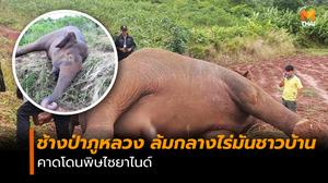 กรณีพบช้างป่าภูหลวง ล้มกลางไร่มันชาวบ้าน คาดโดนพิษไซยาไนด์