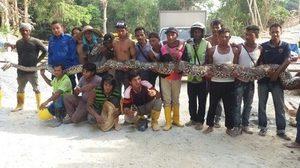 พบงูเหลือมยักษ์ ยาวเฉียด 8 เมตร เชื่อยาวที่สุดในโลก