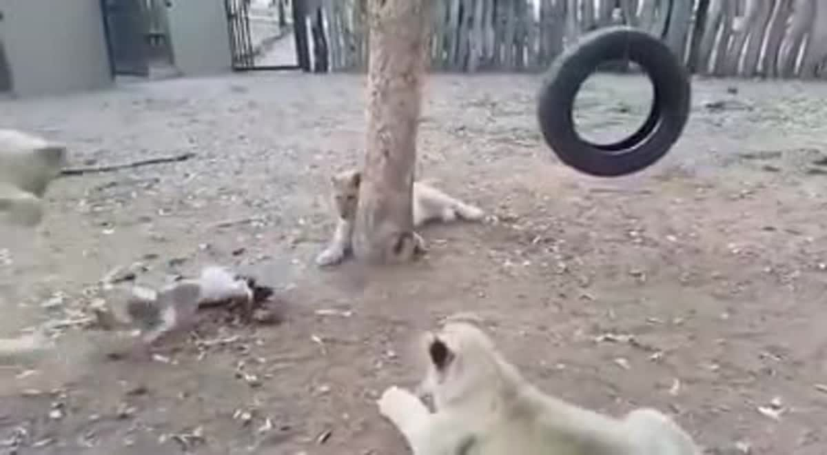 คลิปลูกสุนัขหวงเหยื่อสุดชีวิต บุกเดี่ยวไล่กัดฝูงลูกสิงโตวิ่งกระเจิง