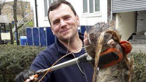 ตะลึง! พบหนูยักษ์หนักกว่า 10โล โผล่กลางกรุง ที่อังกฤษ
