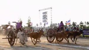 ลุ้น! แข่งขันวัวเทียมเกวียนบ้านลาด จ.เพชรบุรี