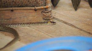 ใครก็ได้ช่วยที จะทำอย่างไรดีเมื่อ งูเข้าบ้าน