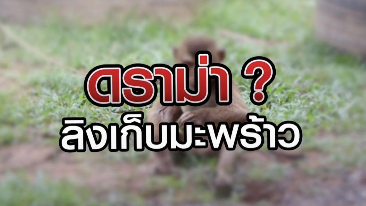 ดราม่า? ลิงเก็บมะพร้าว 07-07-63