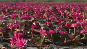 เปิดทุ่งบัวแดงสวนน้ำหนองสำรอง จ.กาญจนบุรี
